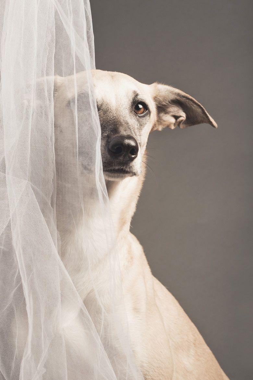 shy greyhound