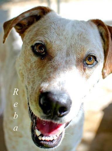 Adopt Reba On Unique Dog Breeds Bull Terrier Mix Popular Dog