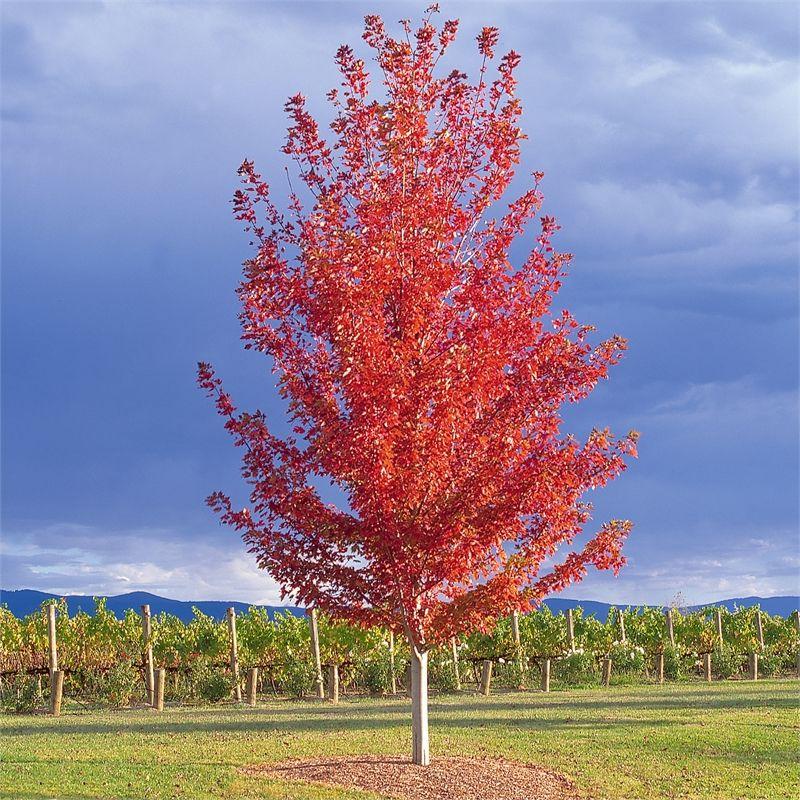 200mm Autumn Blaze Maple Acer Rubrum Jeffersred Autumn Blaze Maple Shade Trees Acer Rubrum