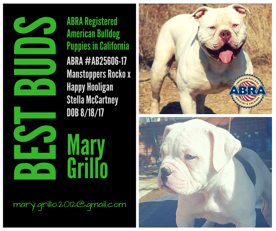 Congrats Mary Thanks For Choosing The Abra Best Buds American Bulldogs Manstoppers Rocko