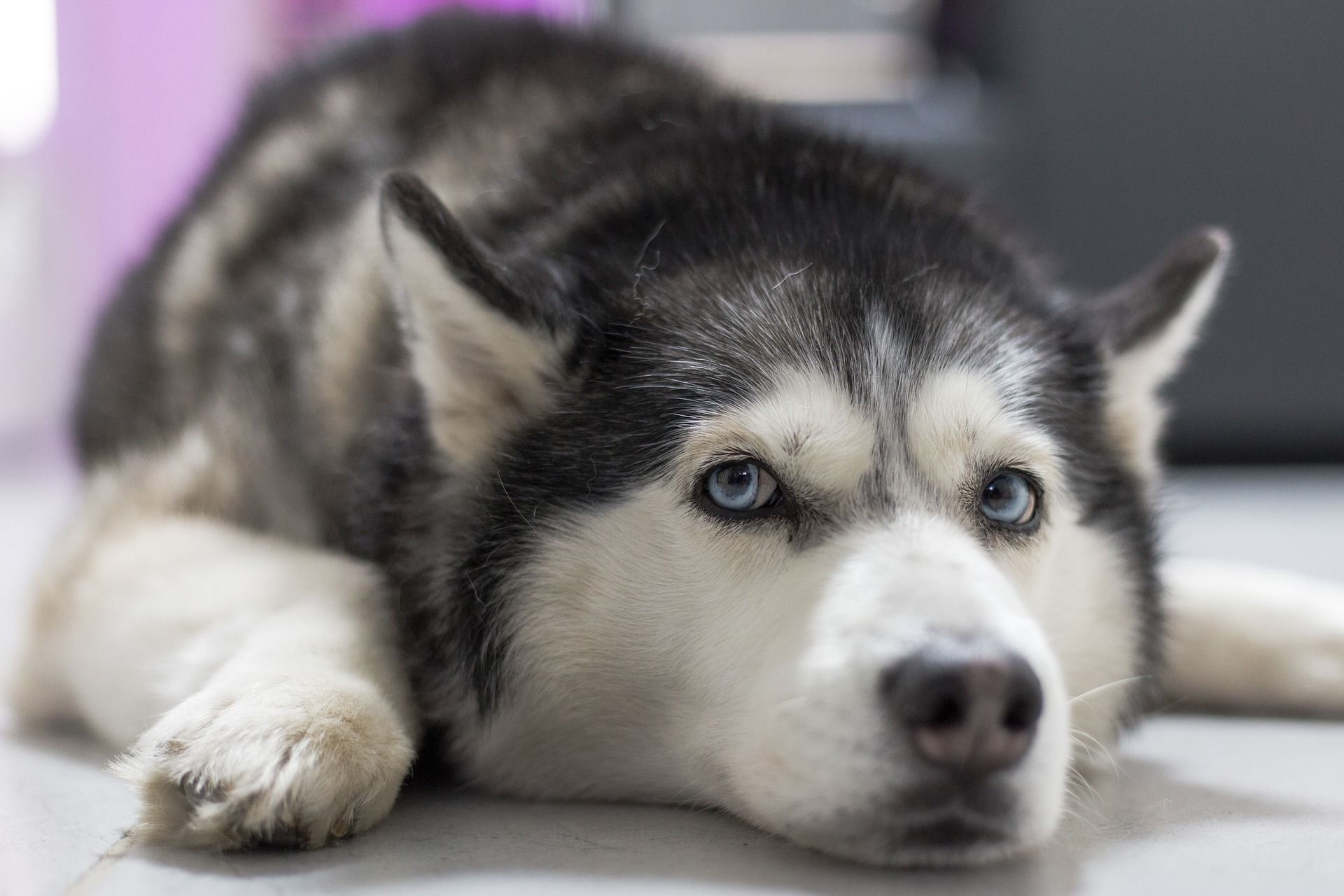 Is your siberian husky driving you crazy within hours stop barking