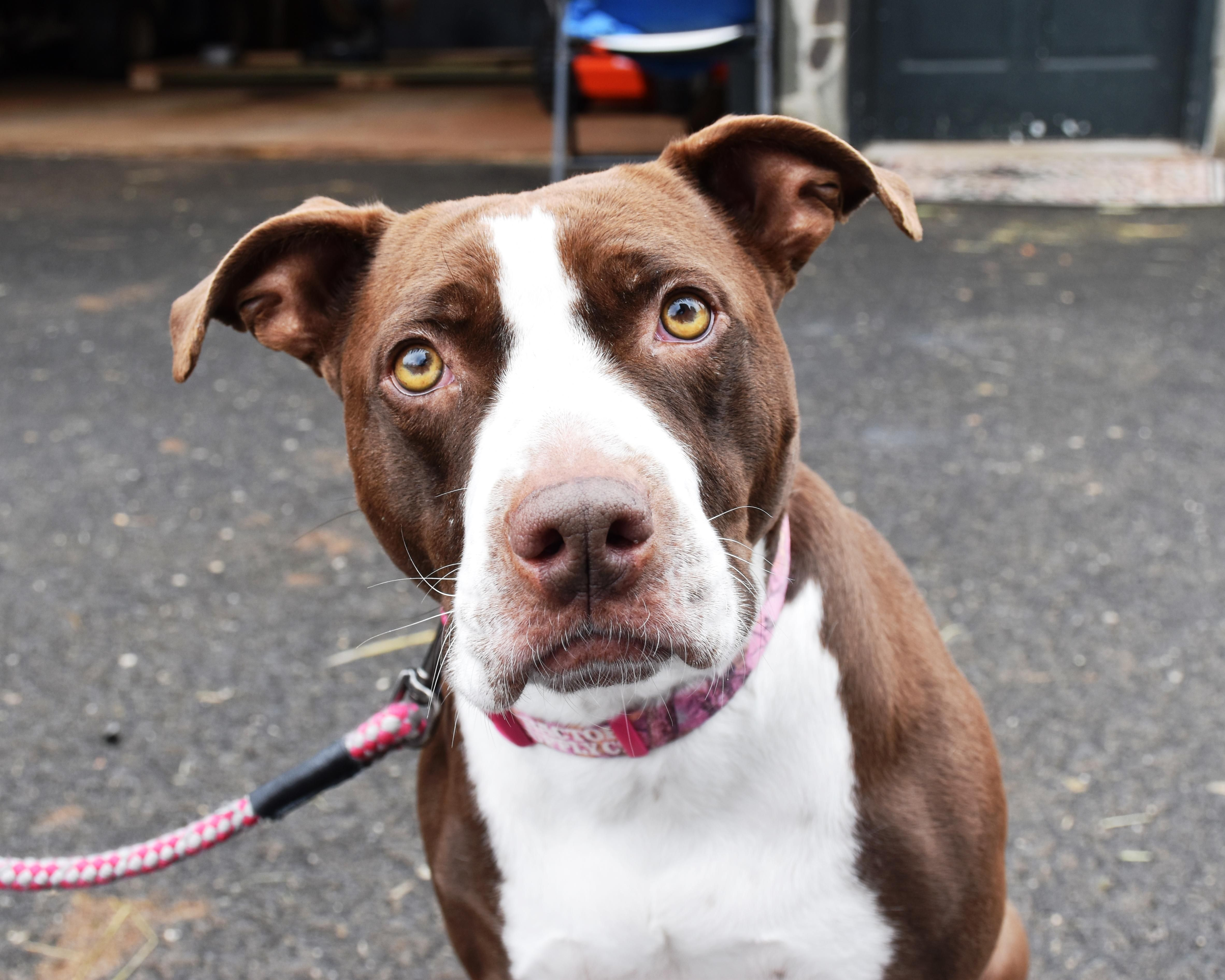 Adopt Mae on Animal rescue, Brittany spaniel, Pup