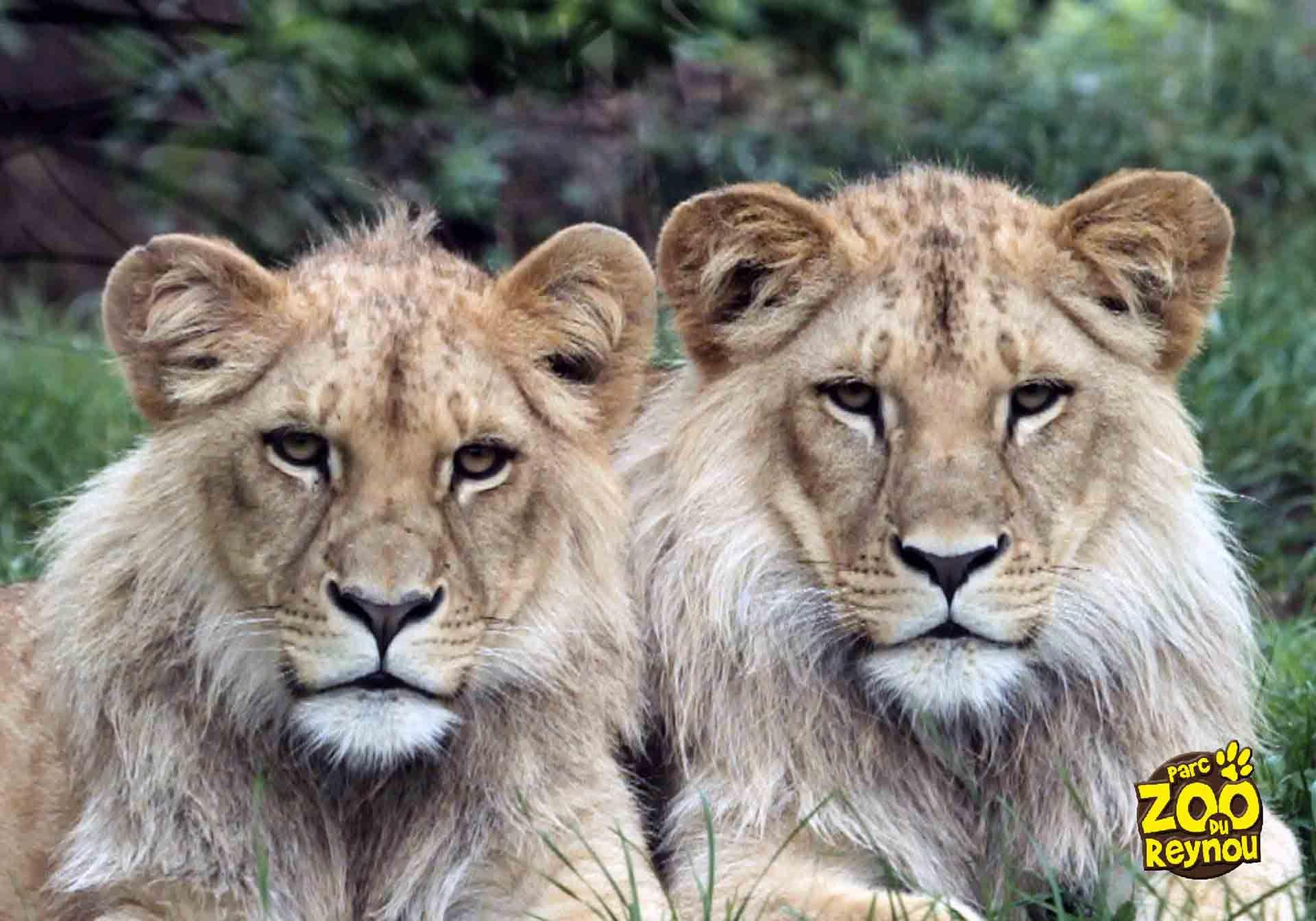 Les lions d'Angola du Parc Zoo du Reynou