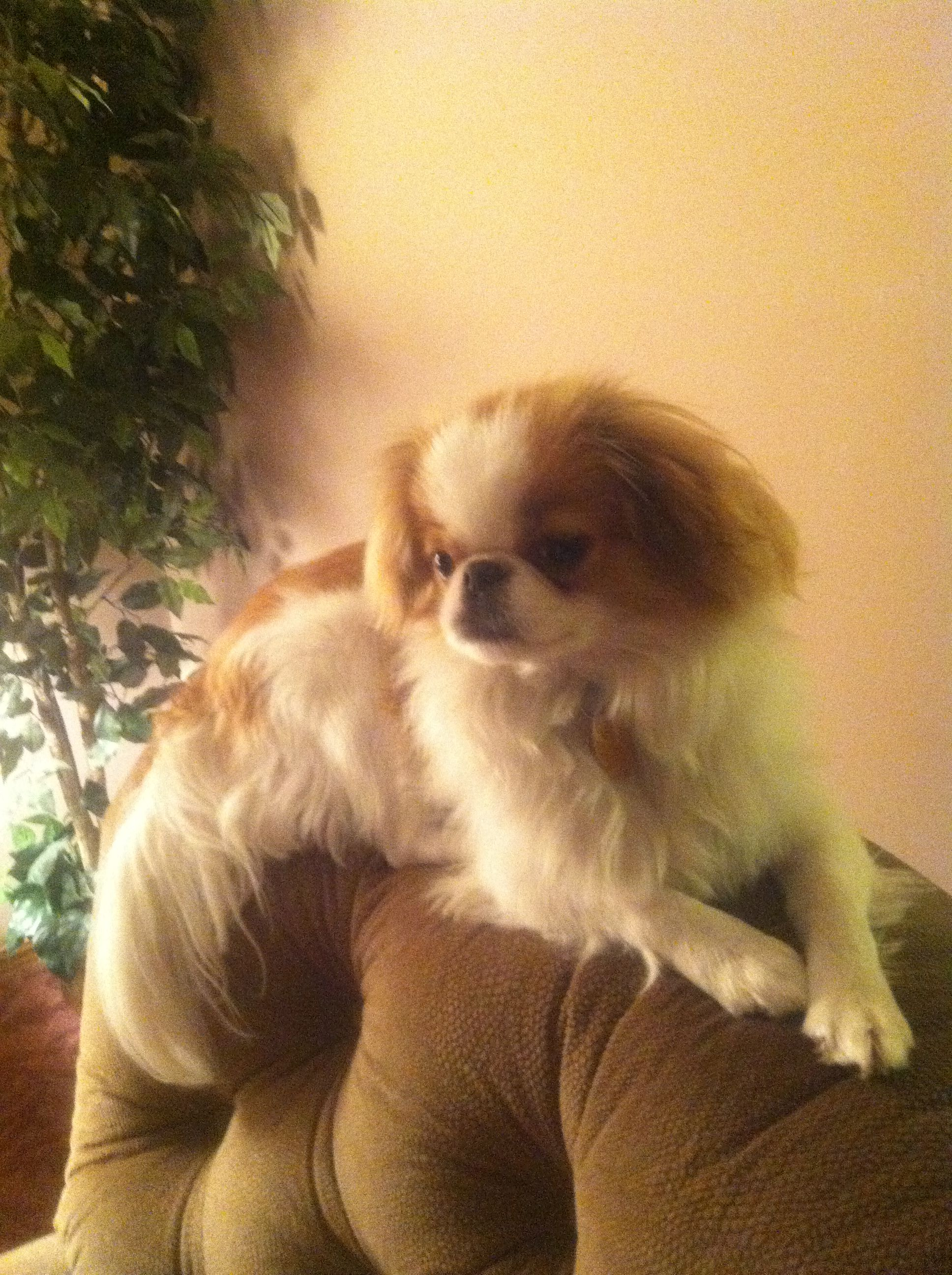 Japanese Chin My Job To Perch Look Cute Japanese Chin