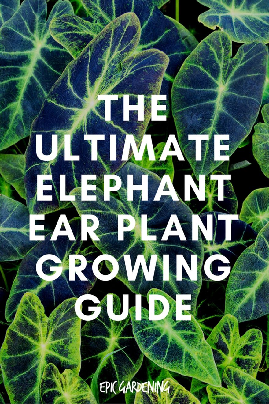Elephant Ear Plant Care Planting And Growing Tips Elephant
