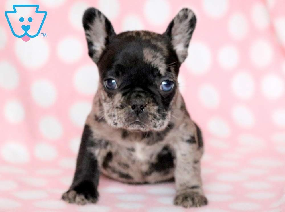Posh French Bulldog Puppy For Sale Keystone Puppies Bulldog Puppies Bulldog Breeds French Bulldog Puppies