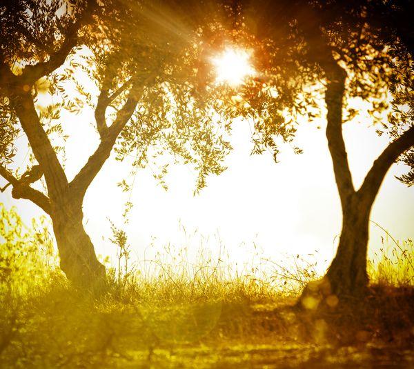 Um bosque de oliveiras num pôr do sol de verão.