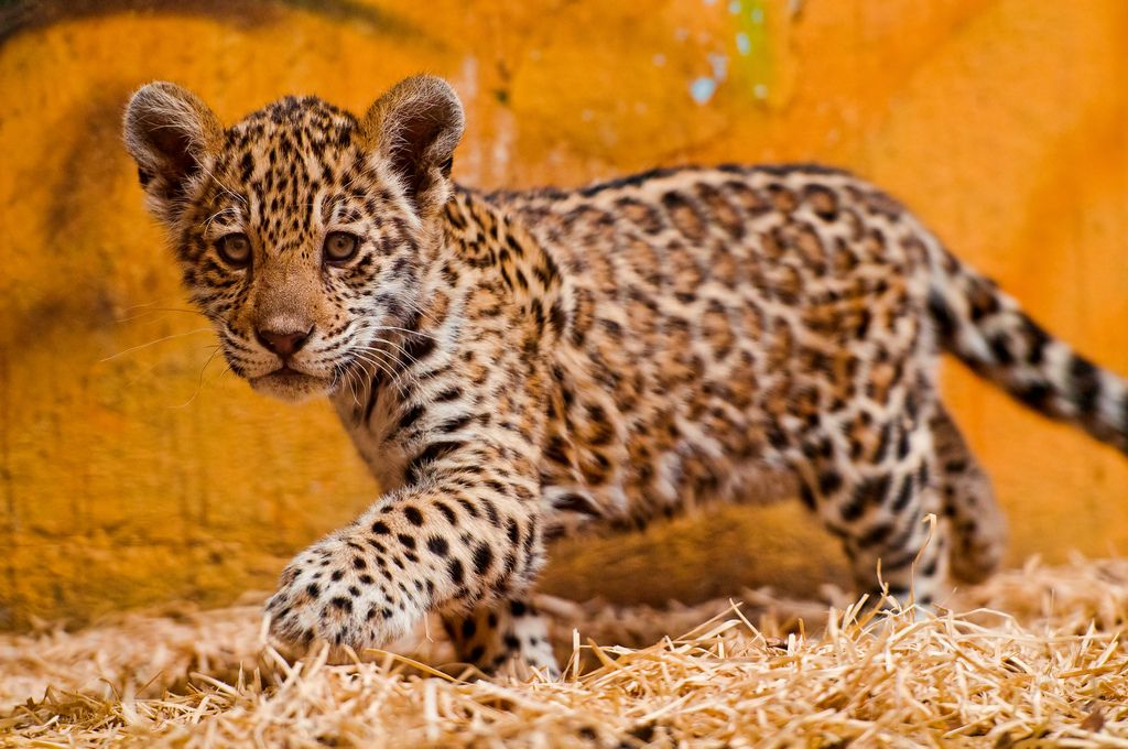 Next shot of the cute Iazua, one of the three-month old female jaguar cubs of the Bratislava zoo.  She was walking with assurance, exploring the inner enclosure under supervision of her mother.
