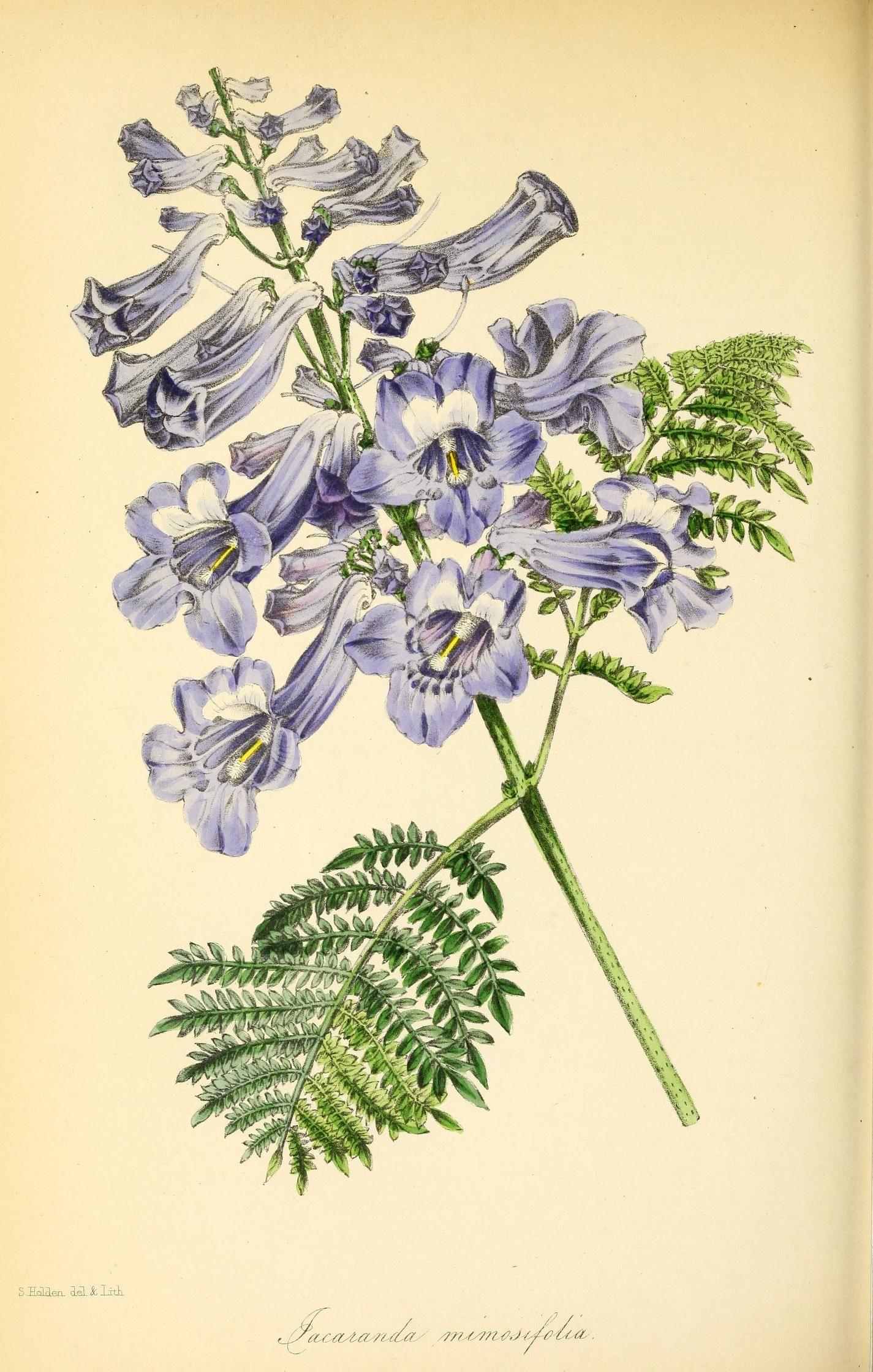 Small Jacaranda Tattoo: Paxton's Magazine Of Botany,