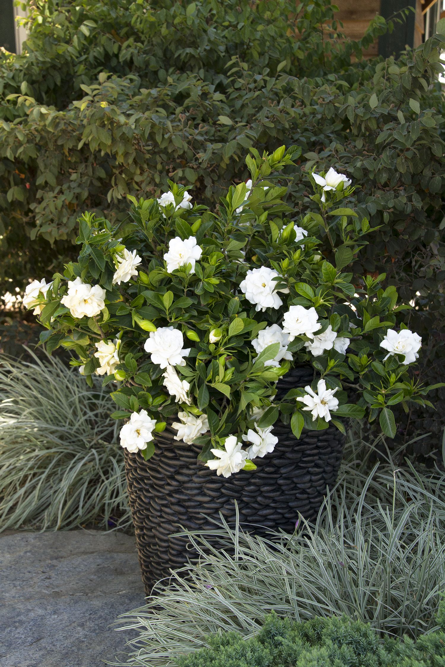 Awesome The Largest Of All Everblooming Gardenias With The Added Protection Of A  Nematode Resistant Rootstock. Produces A Heavy Crop Of Jasmine Scented 3  Inch White ...