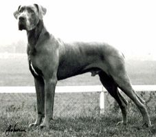 I Love Big Dogs And This Looks Just Like My 2 Year Old Male Blue