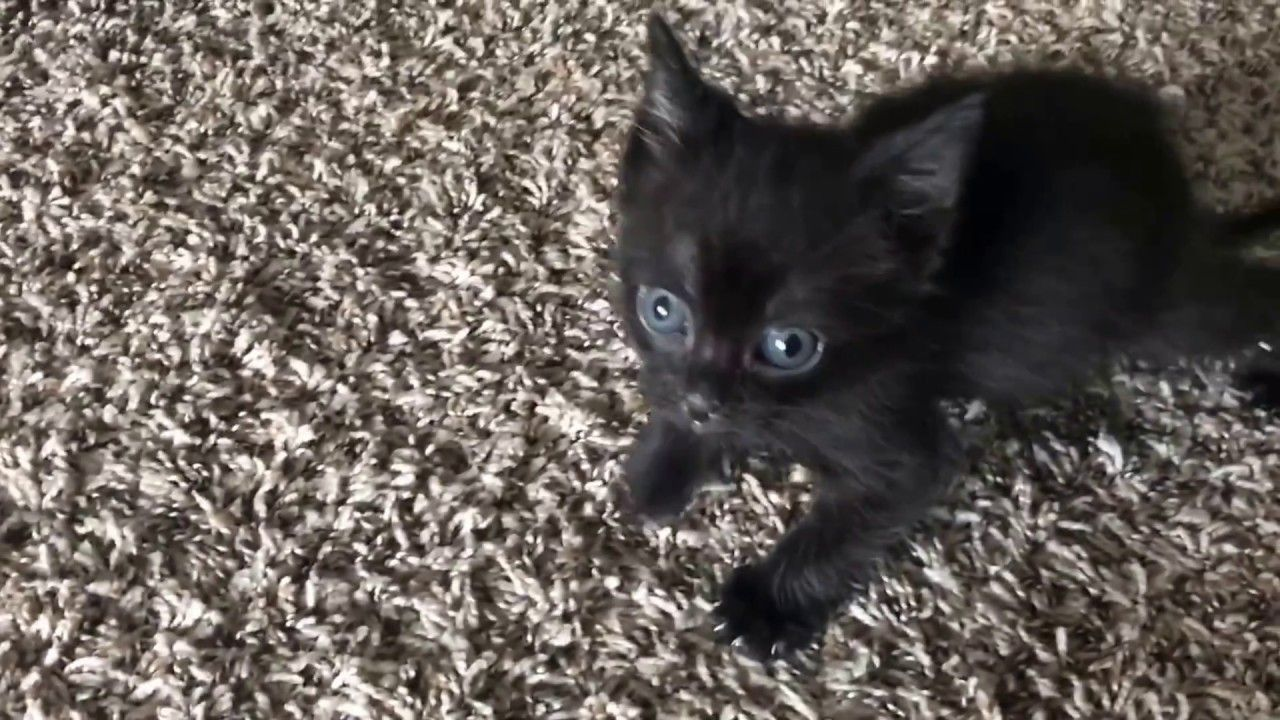 If This Is An Angry Kitten Then I Wouldnt Mind Having A Dozen Of Them Https Youtu Be C0 Ycjlhai Kittens Tiny Kitten Beautiful Cats