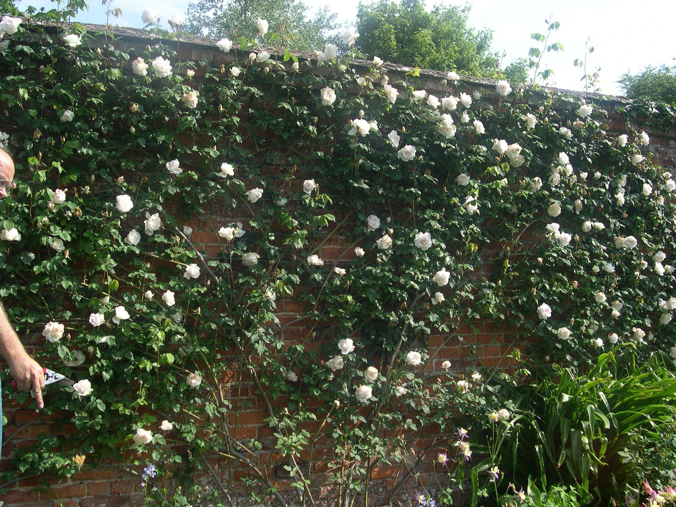 Pruning Climbing Roses Climbing Roses Large Backyard Landscaping Backyard Landscaping