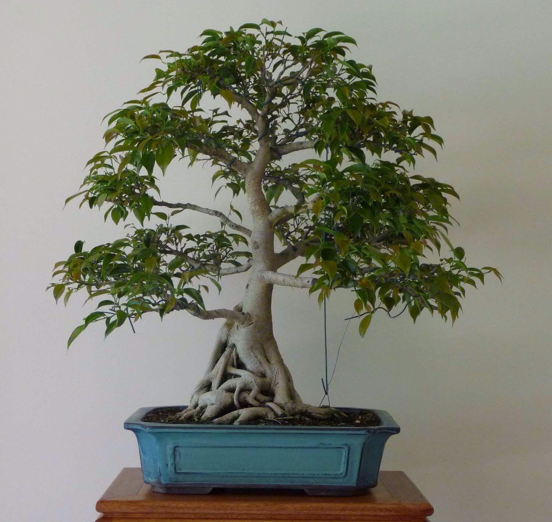Banyan Tree Apartments: Ficus Benjamina, Bonsai Ficus, Bonsai Tree