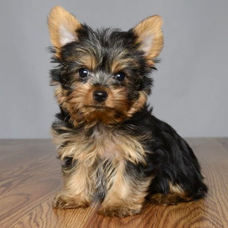 Puppies For Sale Orlando Fl Justpuppies Net Yorkie Puppy Yorkie Terrier Cute Teacup Puppies