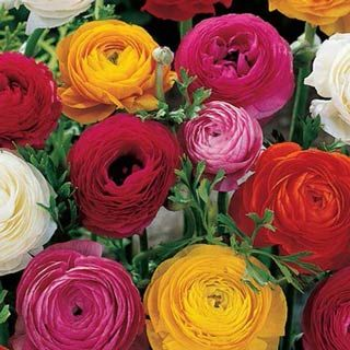 Flower Bulbs Ranunculus French Peony Bulb Flowers Wholesale Flowers Ranunculus Flowers