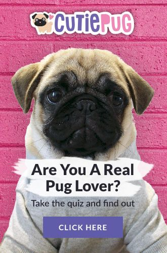 Quiz Are You A Real Pug Lover Do You Know Everything That There
