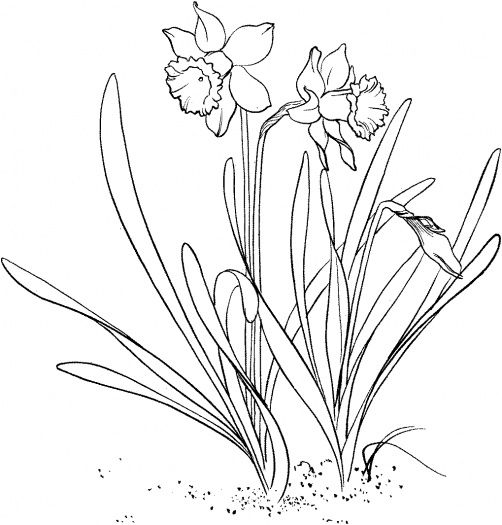 Daffodil Coloring Page To Use As An Embroidery Pattern Flower Coloring Pages Spring Coloring Pages Coloring Pages