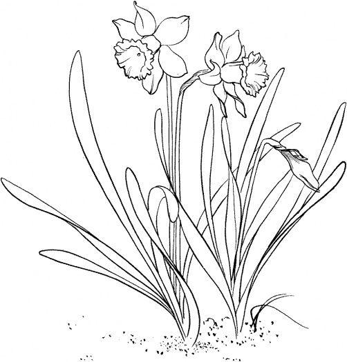 Daffodil Drawing Outline Daffodil Drawing Outline