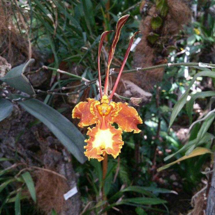 Encyclia,orquidario de estepona