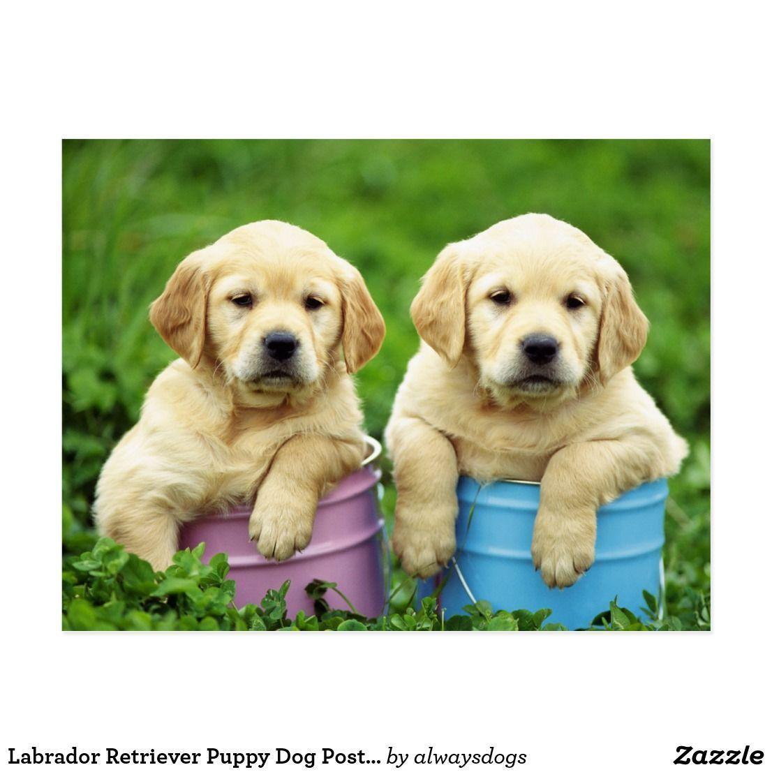 Labrador Retriever Puppy Dog Postcard Labradorretrieverpuppies