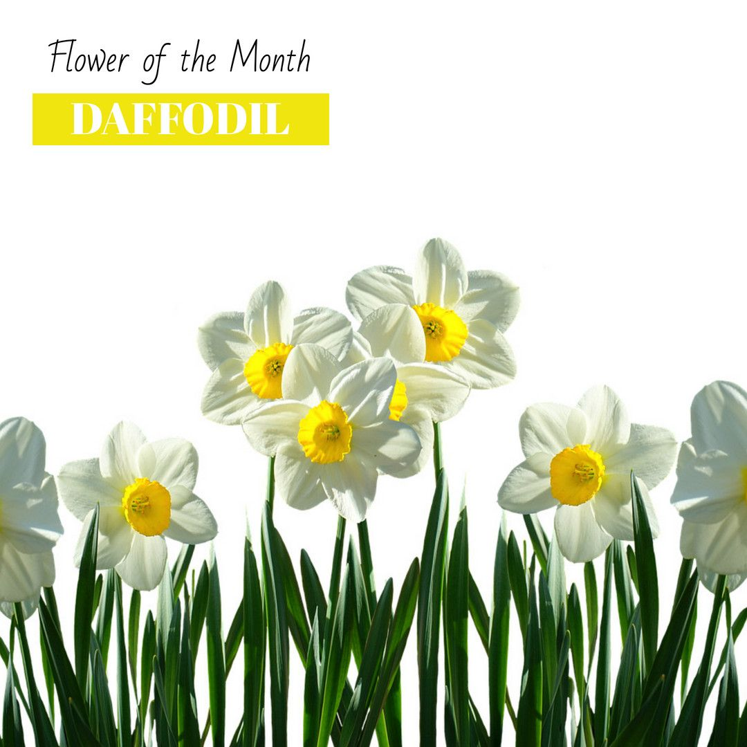 March Flower Of The Month Is Daffodil Flower March Spring In 2020 Daffodils Flowers Virtual