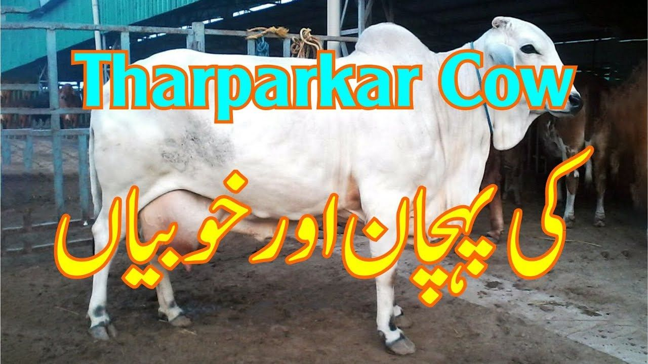 Tharparkar Cow Physical Characteristic Tharparkar Cow ki
