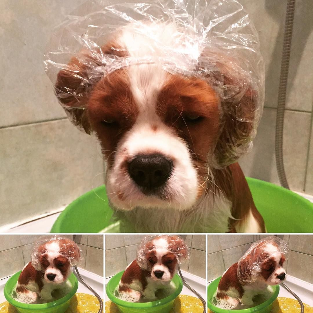 Danny Can T Get Those Ears Wet Cavalier King Charles King