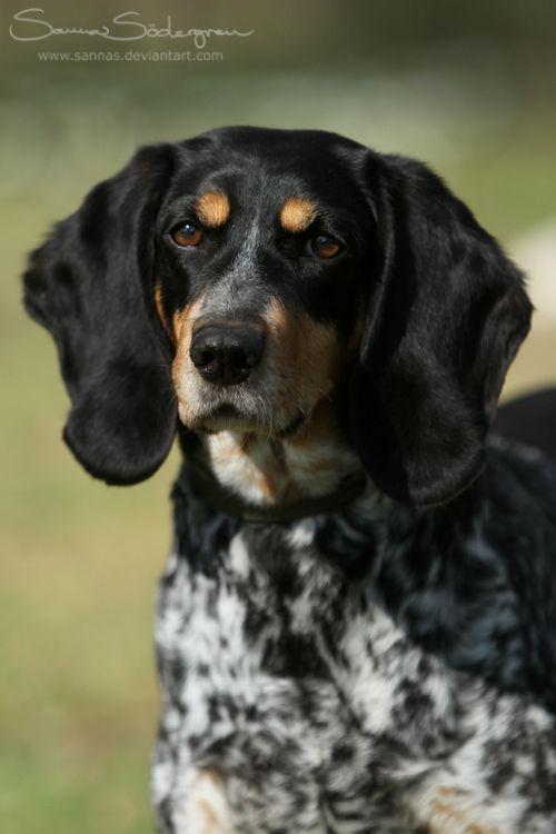 Schweizer Laufhund. FCI Group 6 Scenthounds Hound