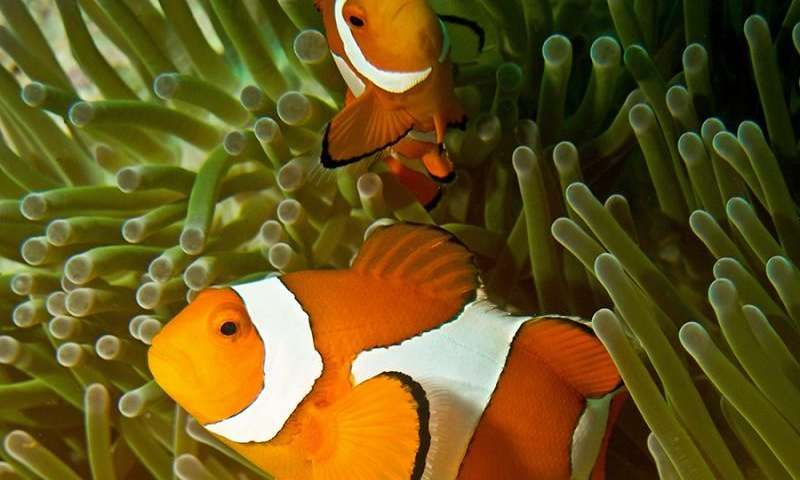 Clownfish share their sea anemone homes when space is limited, say Australian researchers. They have found that multiple species of clownfish live together in the same host anemone and divide up the space.
