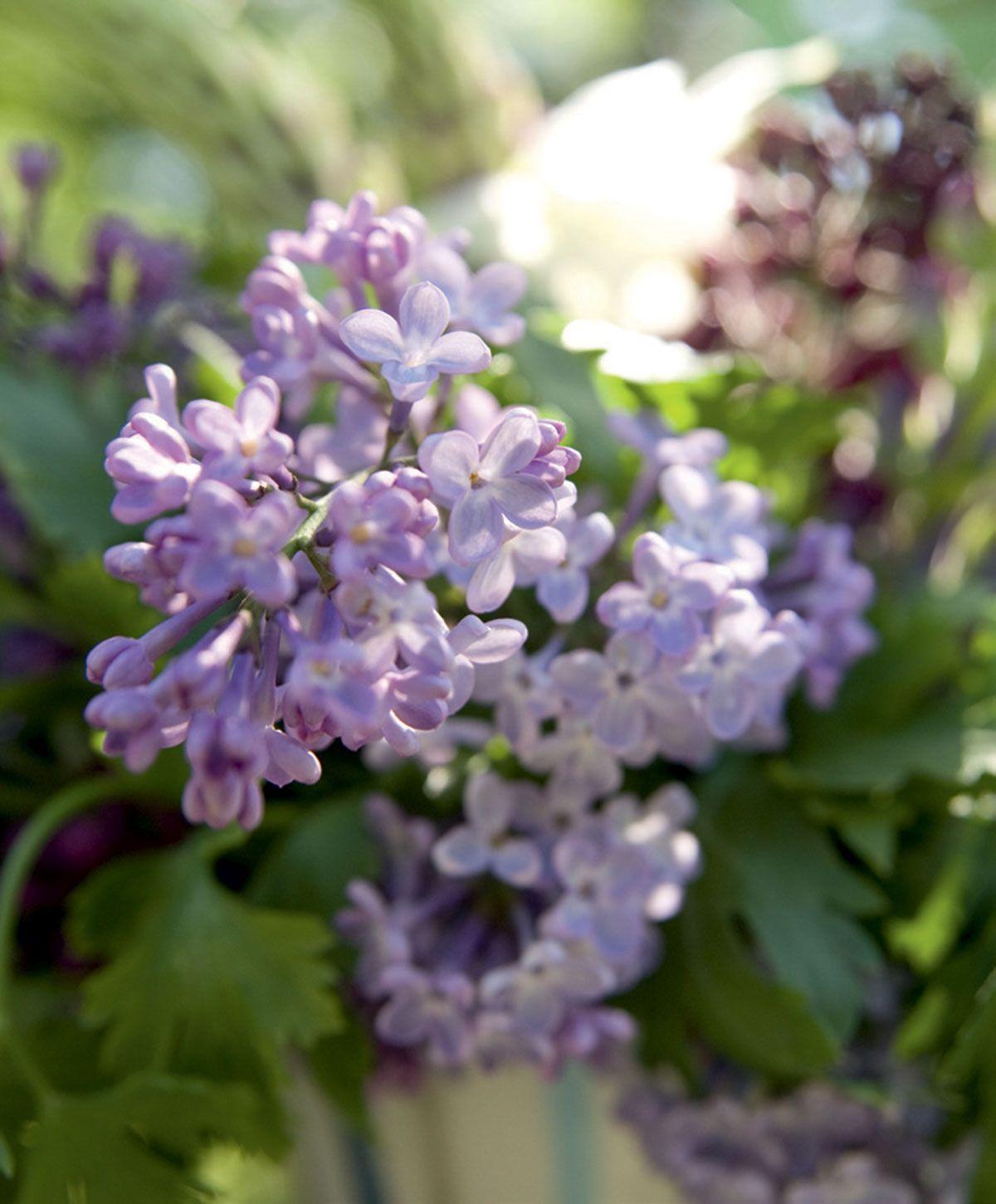 Syreenin huumaava tuoksu kuuluu kesään. Alkukesän lämpöisyydestä riippuen sen kukinta ajoittuu toukokuun lopusta kesäkuulle.