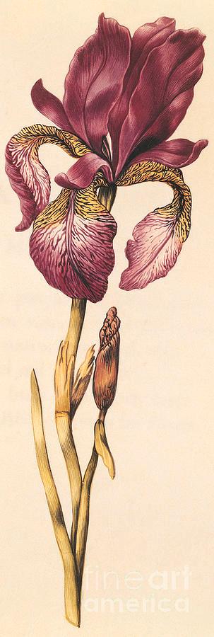 Iris Painting - Iris by Nicolas Robert