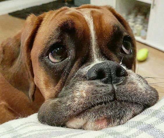15 Funny Expressions Every Boxer Dog Parent Will I