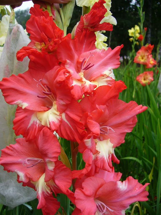 Image 563 750 Beautiful Flowers Rainbow Garden Beautiful Roses