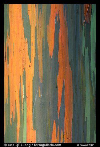 Picture Photo Multicolored Bark Of A Rainbow Gum Tree Maui