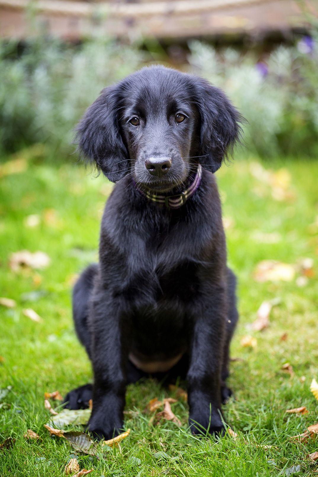 Flatcoated Retriever Puppy 14 weeks Retriever puppy