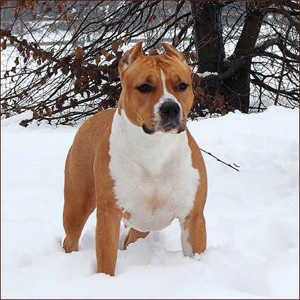 American Staffordshire Terrier Amstaff 08 American Staffordshire Bull Terrier Dog Breeds American Staffordshire Terrier