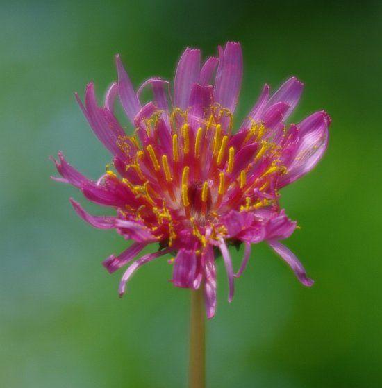 Taraxacum porphyranthum - Изображение растения - Плантариум