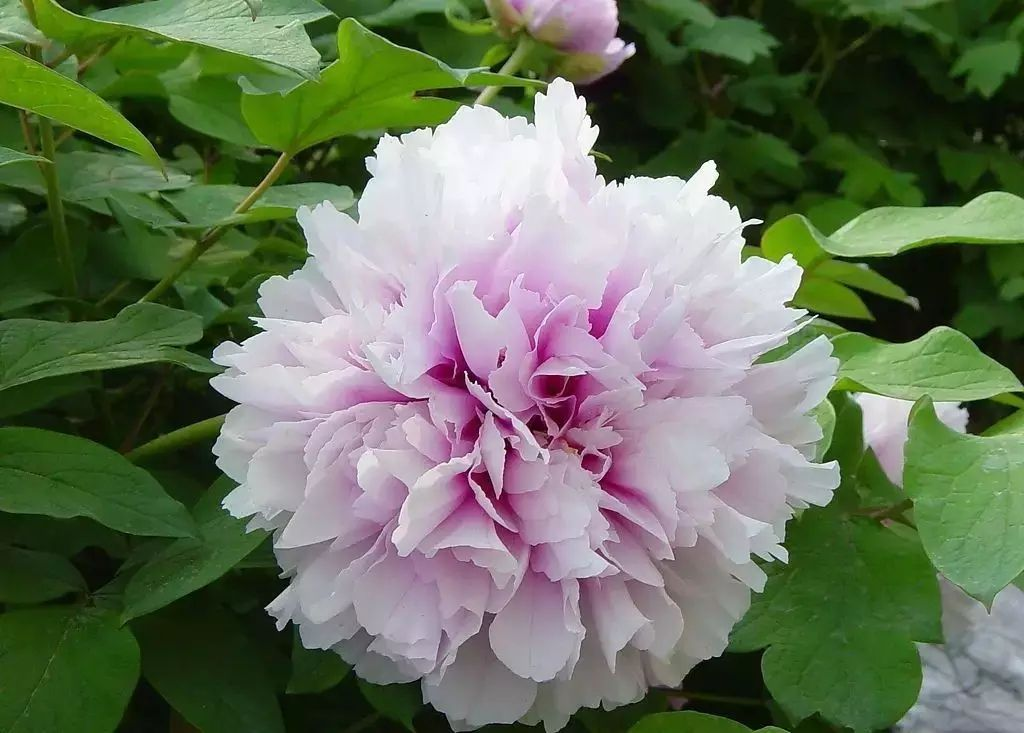 Luoyang National Peony Garden is the best place to see the