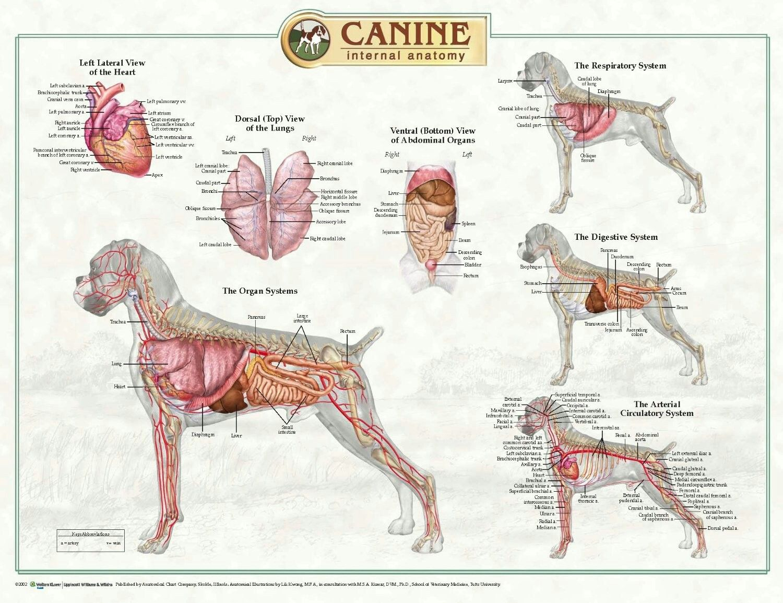 Canine Anatomy | Dogs | Pinterest | Anatomy, Dog and Dog anatomy
