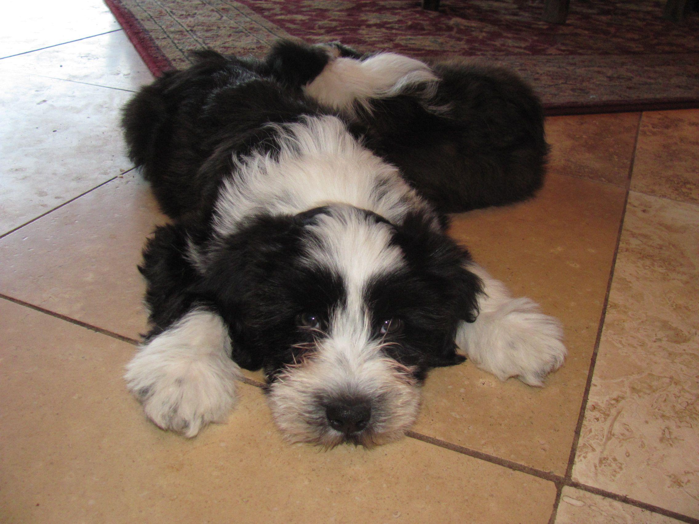 Tibetan Terrier Puppy Black And White Tibetan Terrier Terrier
