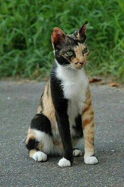 2521ddd7ff5114 Cute cat was very unusual markings! Pinned   ~ animals with unusual ...