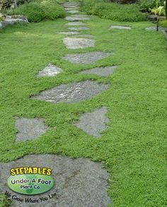 Ground Cover On Pinterest Lawn Creepers And Plants Ground Cover Ground Cover Plants Corsican Mint