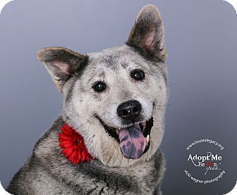 German Shepherd Dog Alaskan Malamute Mix Dog For Adoption In