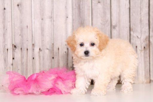 Poochon Puppy For Sale In Mount Vernon Oh Adn 53887 On Puppyfinder Com Gender Female Age 9 Weeks Old Poochon Puppies Puppies For Sale Puppies