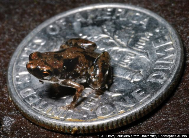 Worlds Smallest Frog