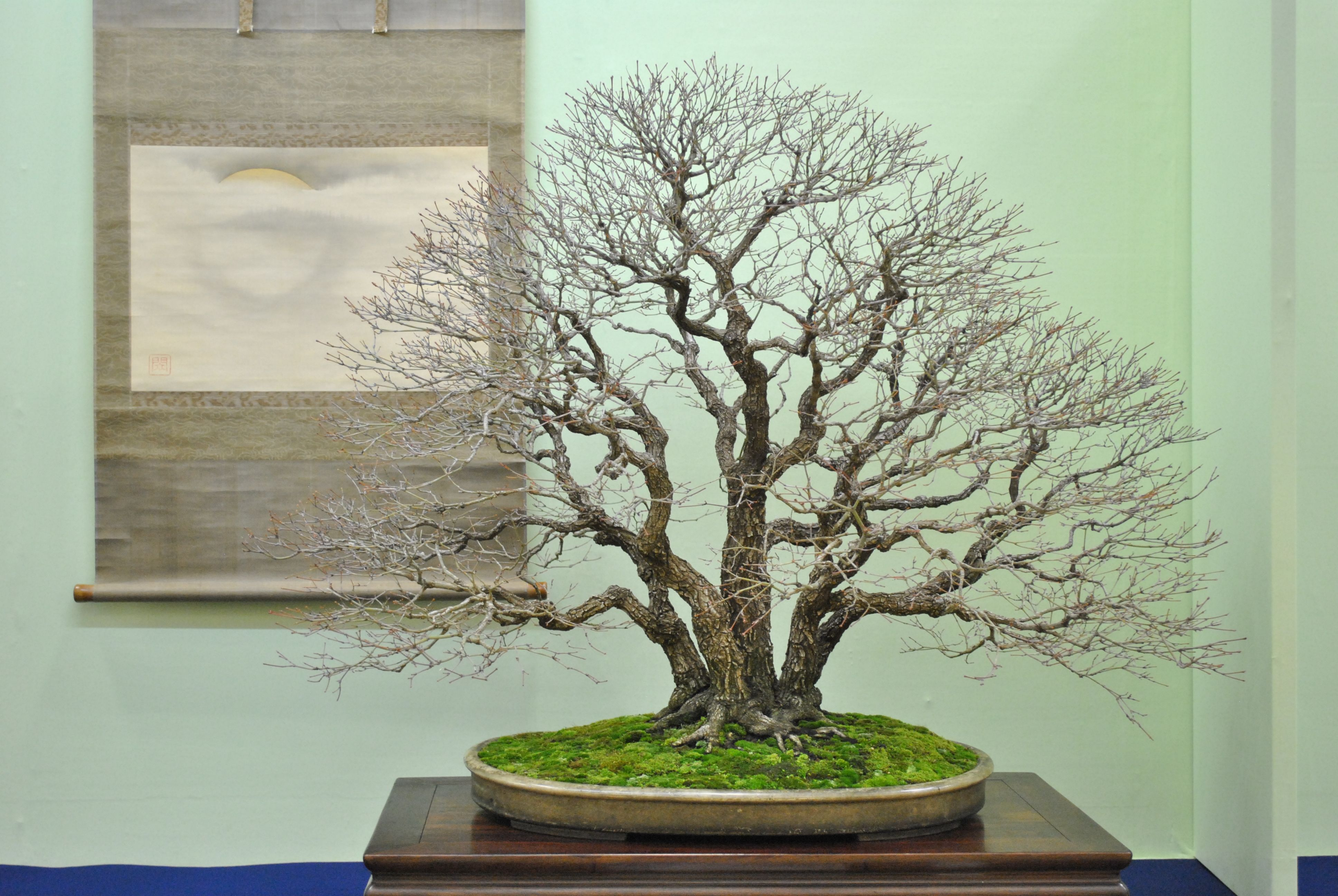 From our Top Bonsai gallery at