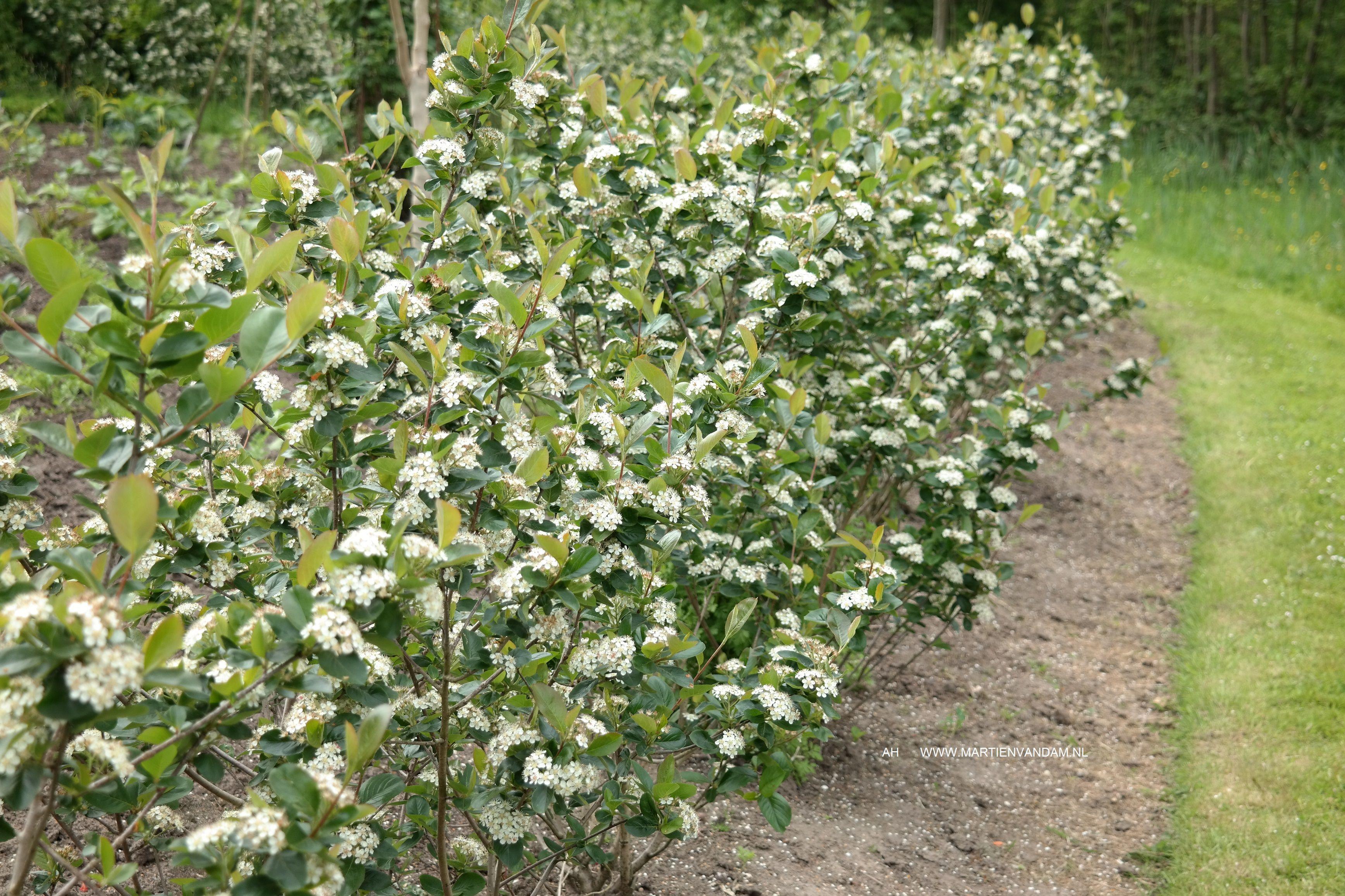 aronia arbutifolia ud appelbes als haag bij de groentetuin bloei mei witte bloemen with. Black Bedroom Furniture Sets. Home Design Ideas