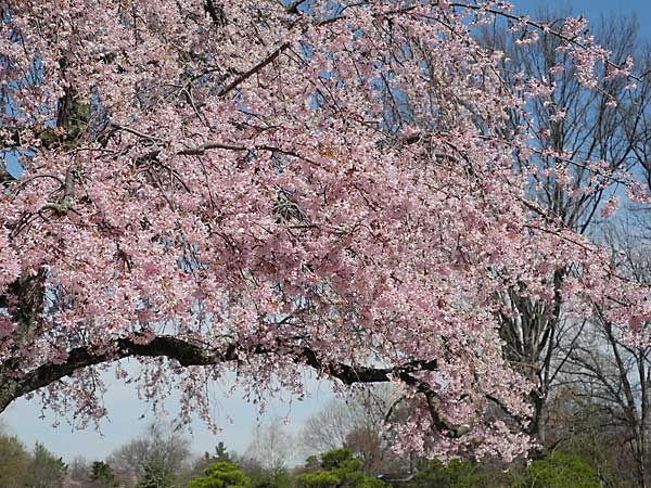 Higan Cherry Is A Medium Sized Deciduous Tree Growing To 40 50 Ft Tall It Is A Naturally Occurring Hybrid Fr Japanese Cherry Tree Deciduous Trees Growing Tree