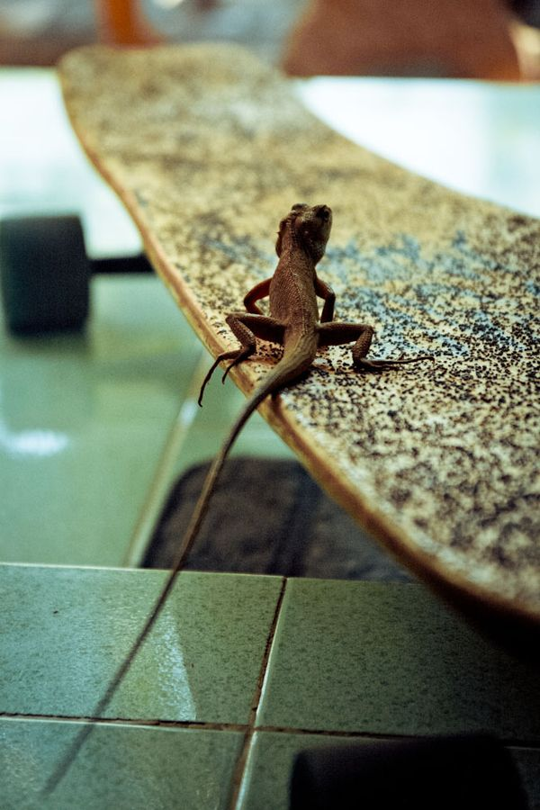 small #longboarder #lizard